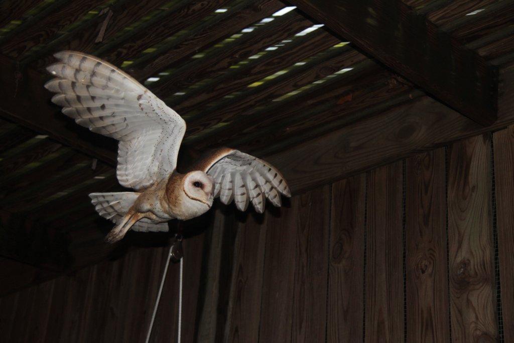 Barn Owl 12 1152 The Wildlife Center Of Virginia