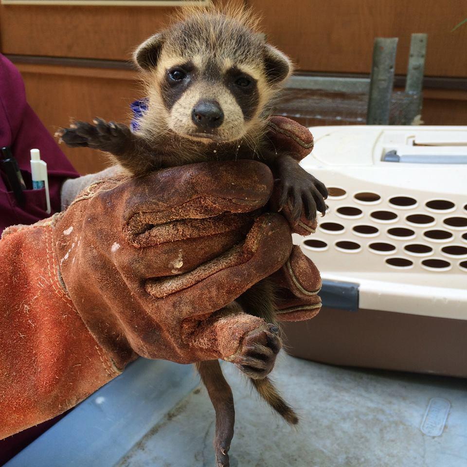 Raccoons as Neighbors | The Wildlife Center of Virginia