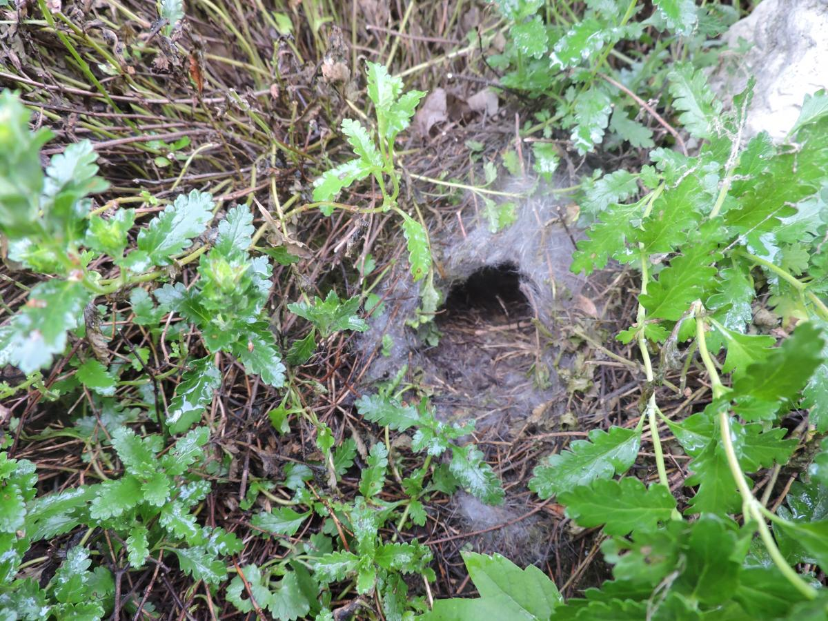 Baby Wild Rabbits Nest