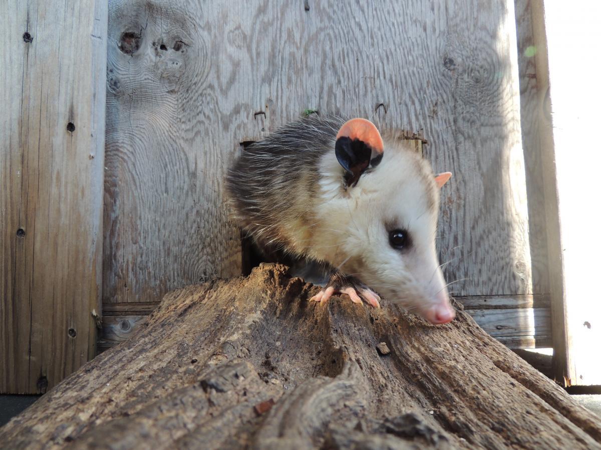 Saying Goodbye to Bo the Opossum | The Wildlife Center of