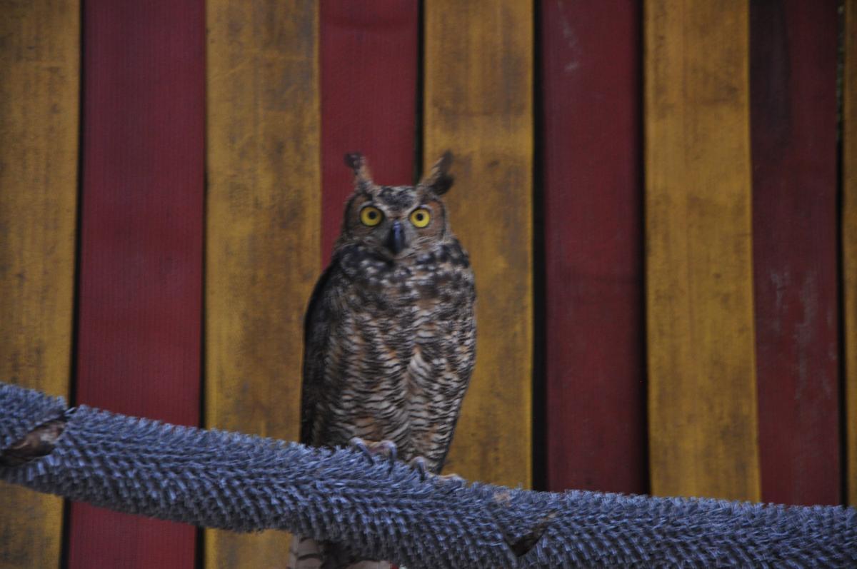 Great Horned Owlet #16-0097 | The Wildlife Center of Virginia
