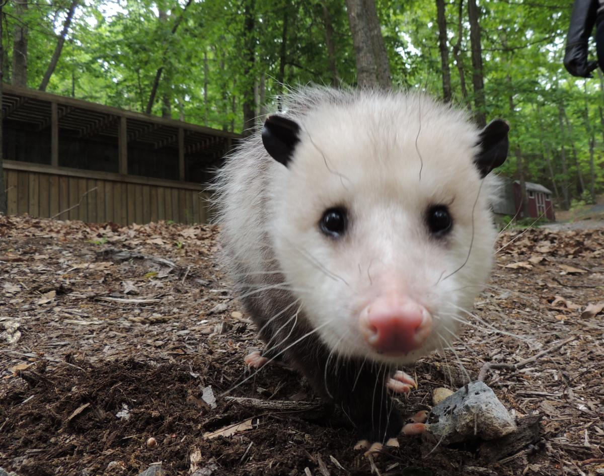 The True Story of the Virginia Opossum | The Wildlife ... Raccoons As Pets