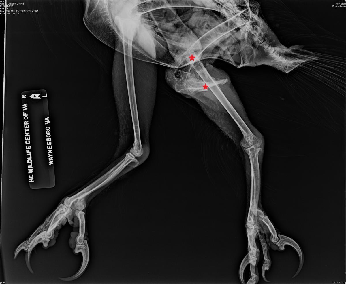 in the bird s left leg  Eagle Leg Anatomy