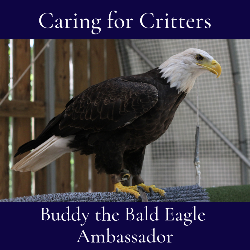 Buddy wasn't the only eaglet from the Norfolk Botanical Garden nest cam to come to the Center; in 2011, his little siblings arrived after their mother was ...