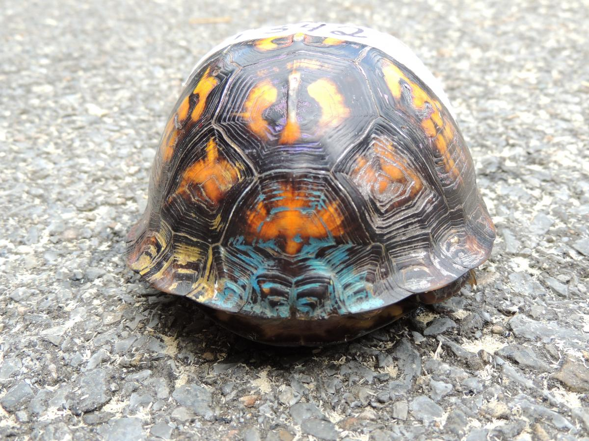 Eastern Box Turtle #13-1342 | The Wildlife Center of Virginia