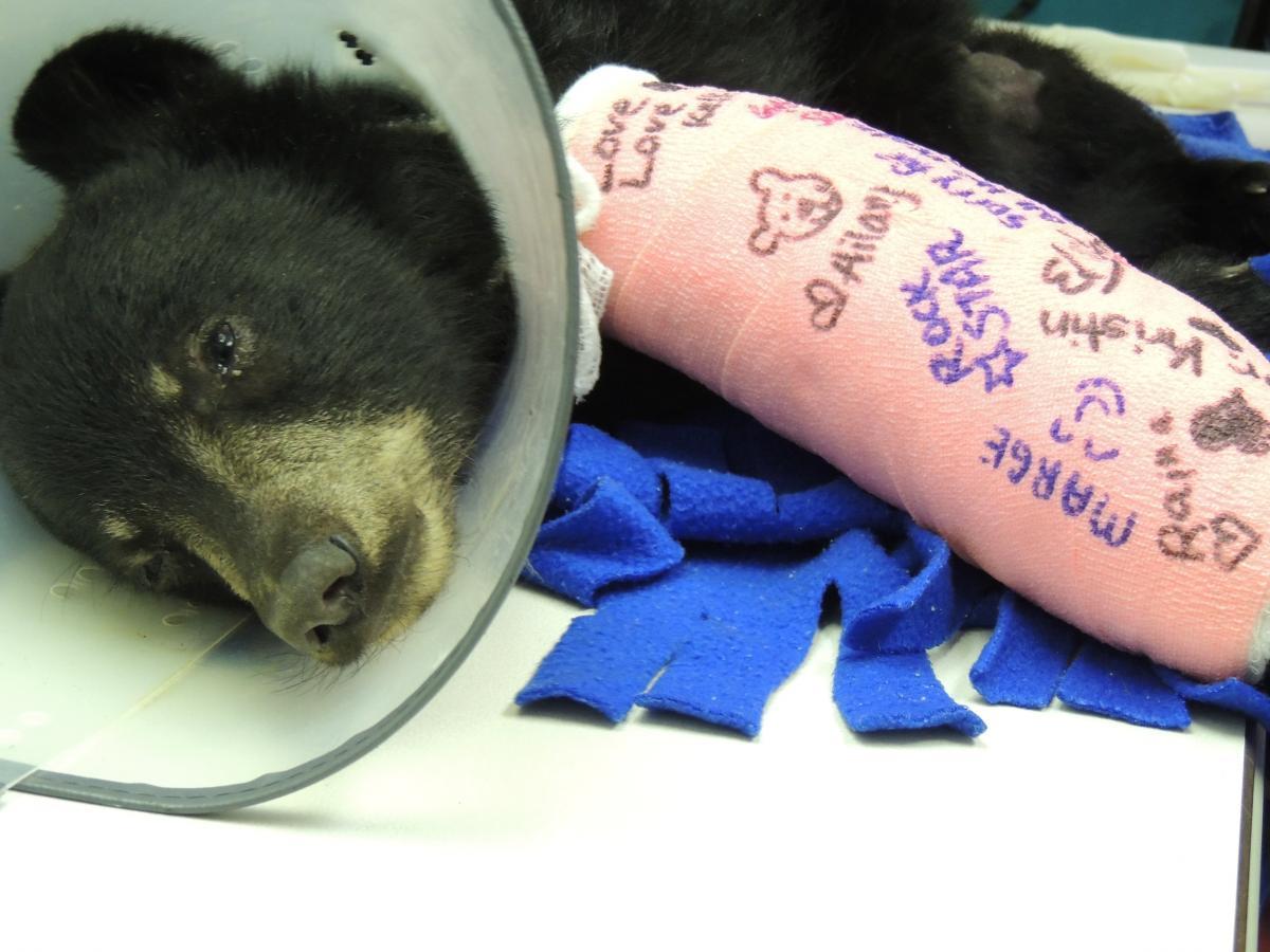 Black Bear Cub #13-2484   The Wildlife Center of Virginia