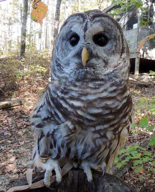 This is an image of Revered Barred Owl Drawing