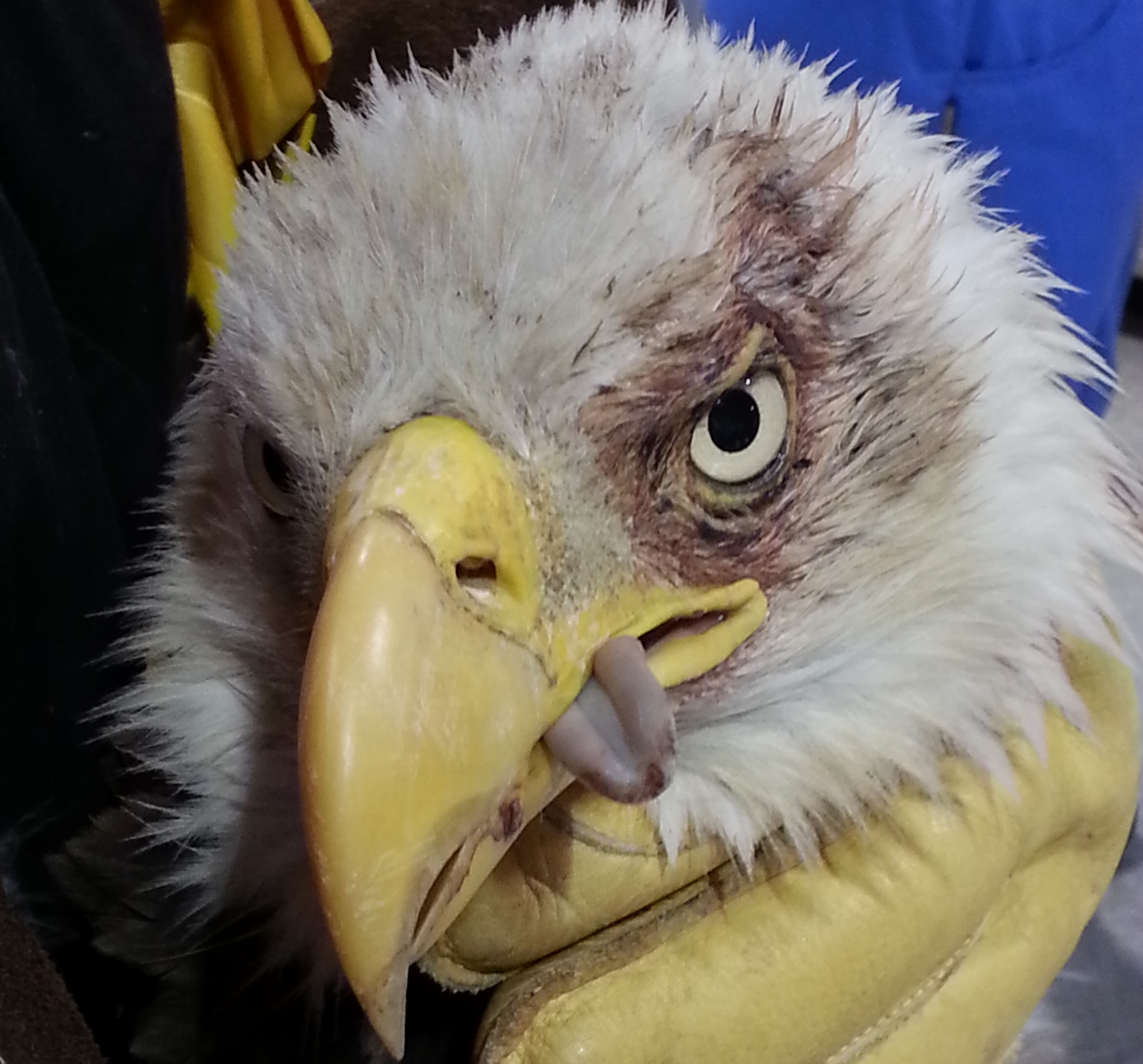 Bald Eagle #14-0450 | ...