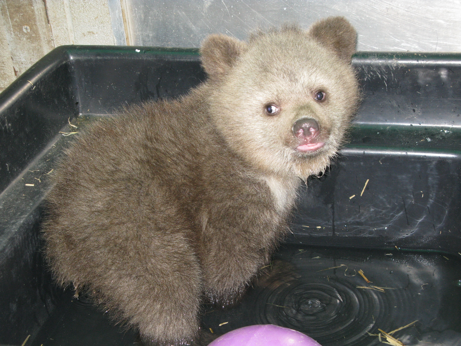 Syrian Brown Bear Cub 13 0335 The Wildlife Center Of