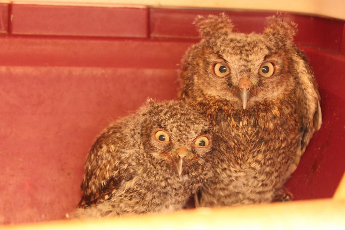 Eastern Screech Owls Of 2014 Releases The Wildlife