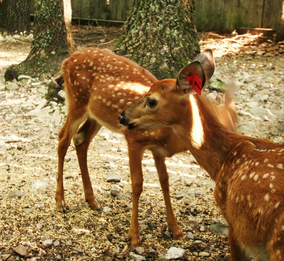 Displaying 20> Images For - Images Of Fawns...