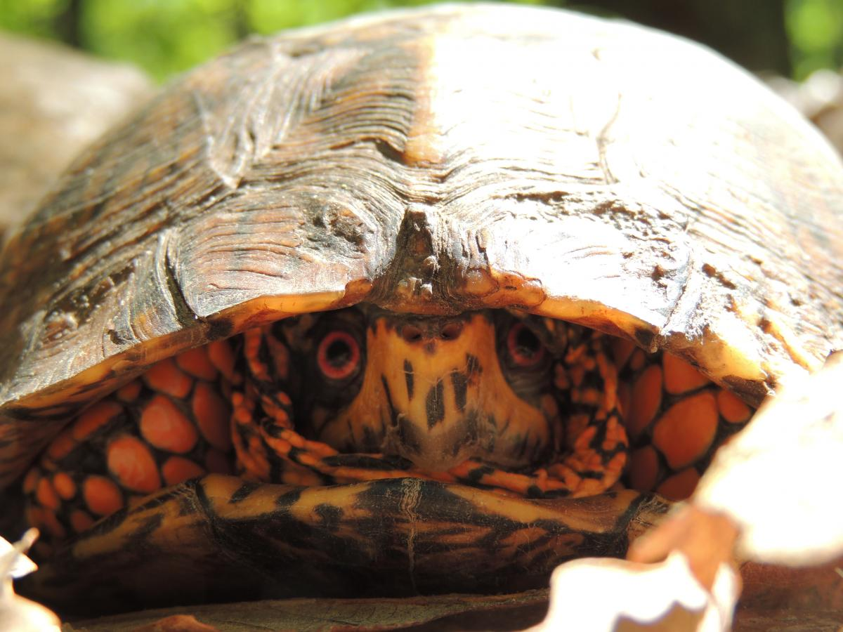 Eastern Box Turtle, #12-1938 | The Wildlife Center of Virginia