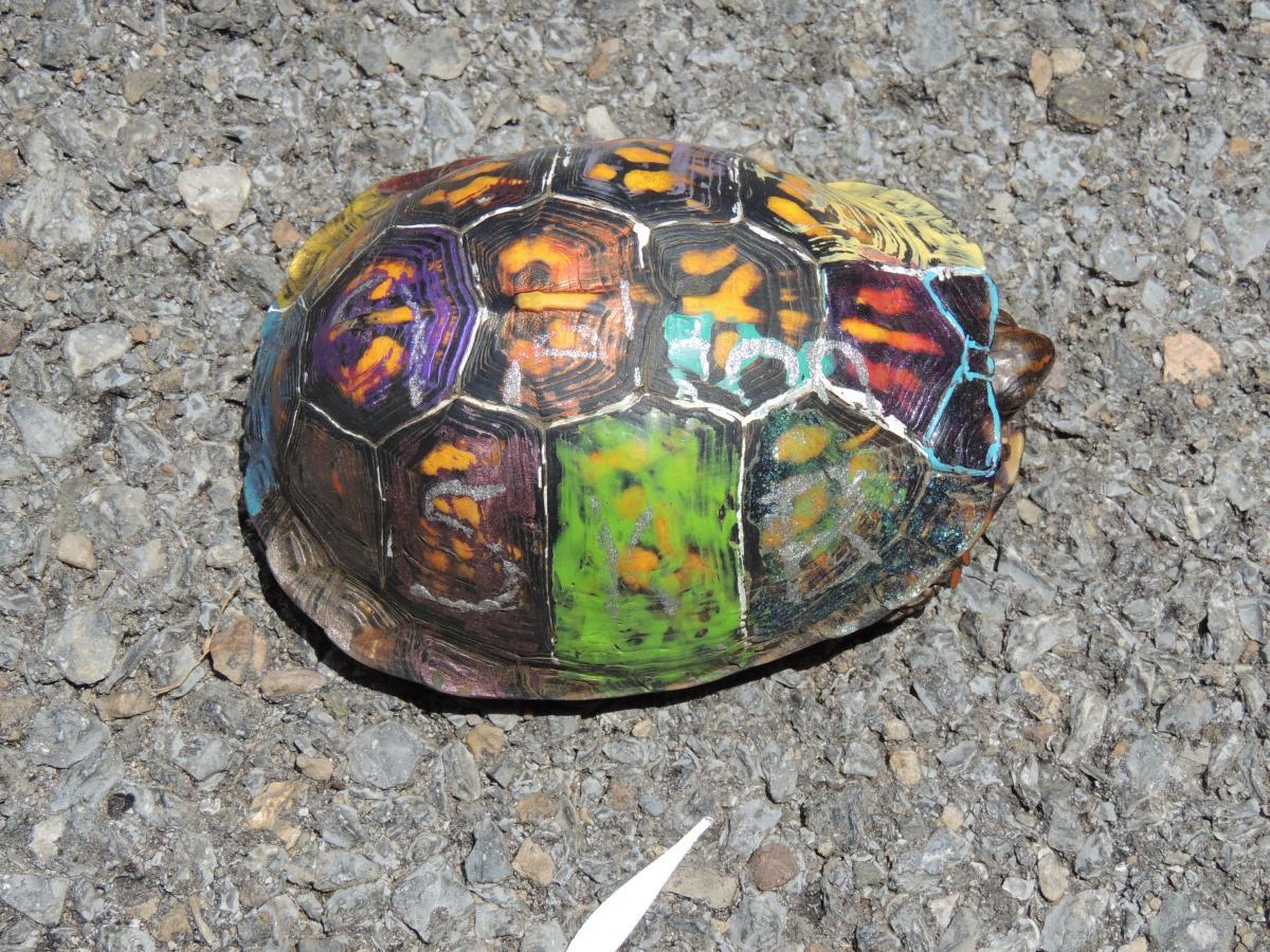 box turtle eggs best turtle 2017