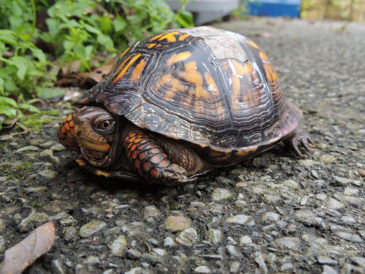 how to catch a box turtle