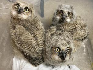 Three Great Horned Owl Hatchlings