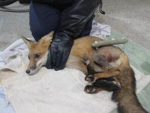 Red Fox, #12-1052
