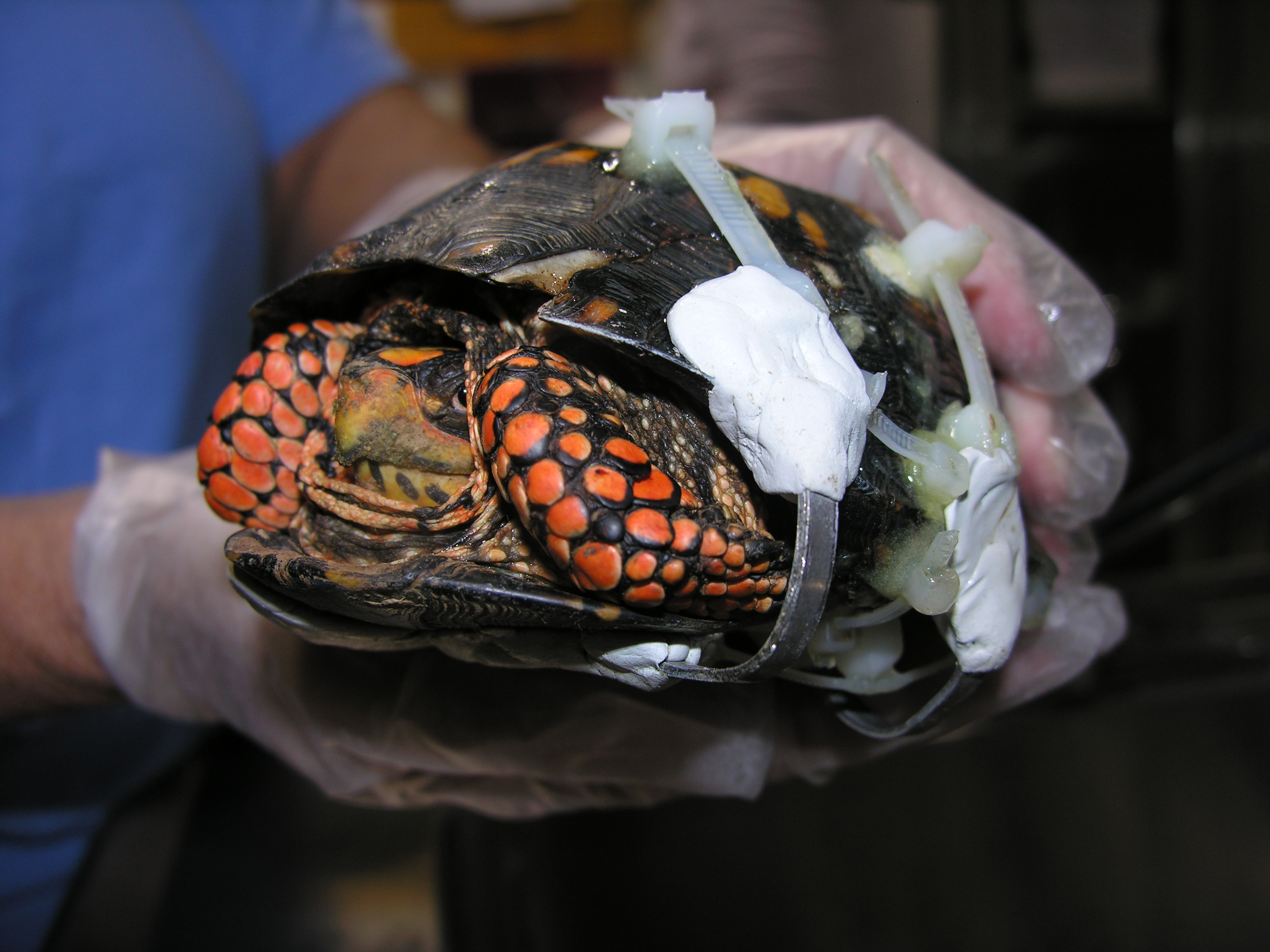 Eastern Box Turtle, #10-2098 | The Wildlife Center of Virginia
